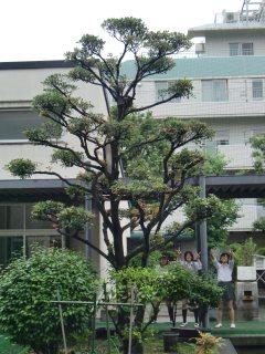 Mokkoku Tree (Ternstroemia Gymnanthera)